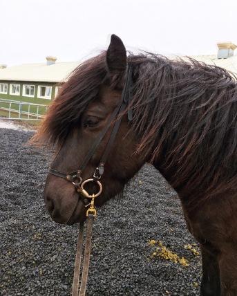 Icelandic_Horse_ishetar
